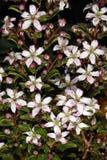 Flores de Buchu (crenulata de Agathosma), una medicina herbaria popular de Suráfrica Fotos de archivo libres de regalías
