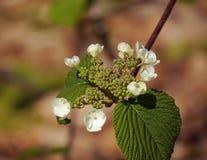 Flores de Bush de la cojera Fotografía de archivo libre de regalías
