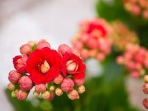 Flores de Calandiva, concepto del fondo Fotos de archivo
