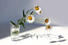 Flores de Camomiles en el florero cristalino con agua en la tabla blanca en luz del sol con la sombra en el fondo blanco foto de archivo libre de regalías