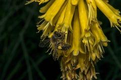 Flores de campana amarilla y una abeja Foto de archivo libre de regalías