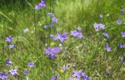 Flores de campana azules hermosas en prado Imagen de archivo