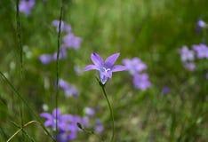 Flores de campana azules hermosas en prado Fotos de archivo libres de regalías