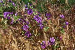 Flores de campana púrpuras en la hierba Imagen de archivo libre de regalías