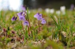 Flores de campanas de la nieve de la montaña en las montañas austríacas Imagenes de archivo