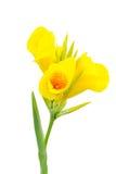 Flores de Canna Foto de Stock Royalty Free