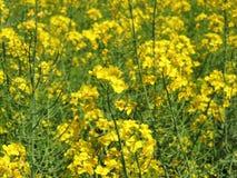 Flores de Canola Fotografía de archivo