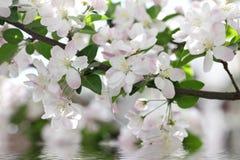 flores de Caranguejo-Apple Fotografia de Stock