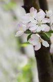 flores de Caranguejo-Apple Imagem de Stock Royalty Free