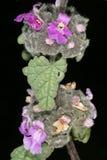 Flores de Cat Herb (africana del Ballota), una medicina herbaria popular de Suráfrica Fotografía de archivo libre de regalías