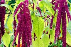 Flores de Caudatus del amaranto Imágenes de archivo libres de regalías