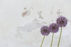 Flores de cebollas decorativas en el fondo del viejo vintag Fotografía de archivo libre de regalías
