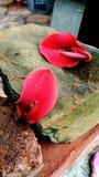 Flores de Ceibo - flores do nacional de Uruguai Fotos de Stock