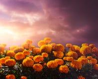 Flores de Cempasuchil usadas para el día de los altares muertos imagen de archivo libre de regalías