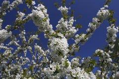 Flores de cereja Fotografia de Stock Royalty Free