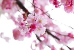 Flores de cereja Imagens de Stock