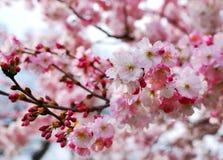 Flores de cereja Imagens de Stock Royalty Free