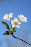 Flores de cereja fotos de stock royalty free