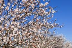 Flores de cereja bonitas Fotografia de Stock