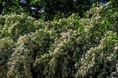 Flores de cereja bonitas Fundo floral da flor da mola Natureza artística elegante surpreendente da imagem na mola Foto de Stock