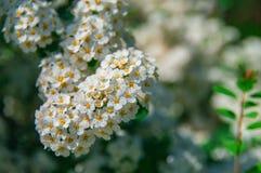 Flores de cereja bonitas Fundo floral da flor da mola Natureza artística elegante surpreendente da imagem na mola Vetor ajustado: Fotos de Stock