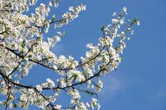 Flores de cereja brancas Fotos de Stock