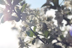 Flores de cereja brancas Imagens de Stock