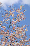 Flores de cereja brancas de encontro a um céu azul brilhante Foto de Stock Royalty Free