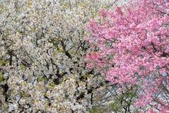 Flores de cereja brancas e cor-de-rosa imagem de stock