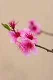 Flores de cereja cor-de-rosa Fotos de Stock