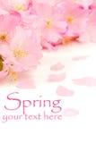 Flores de cereja cor-de-rosa Fotografia de Stock Royalty Free