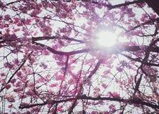 Flores de cereja cor-de-rosa Sakura Imagens de Stock