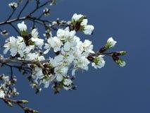 Flores de cereja da C.C. Fotografia de Stock Royalty Free