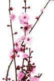 Flores de cereja de florescência Imagem de Stock Royalty Free
