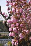 Flores de cereja dobro foto de stock royalty free
