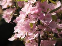 Flores de cereja em Canadá imagens de stock