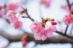 Flores de cereja em Japão fotografia de stock royalty free