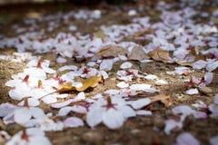 Flores de cereja em Tokyo Imagem de Stock