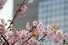 Flores de cereja em uma cidade grande Imagens de Stock
