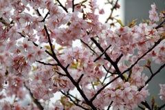 Flores de cereja em uma cidade grande Fotos de Stock