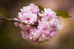 Flores de cereja japonesas Fotos de Stock