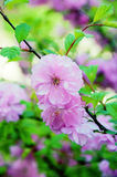 Flores de cereja na árvore Fotos de Stock Royalty Free