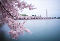 Flores de cereja na C C fotos de stock