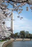Flores de cereja na C.C. Foto de Stock Royalty Free