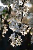 Flores de cereja na filial Fotografia de Stock Royalty Free