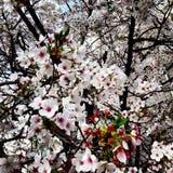 Flores de cereja na flor cheia Imagens de Stock Royalty Free