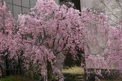 Flores de cereja na flor cheia Fotografia de Stock Royalty Free