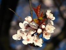 Flores de cereja no console de Vancôver imagens de stock