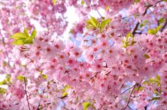 Flores de cerejeira Fotografia de Stock