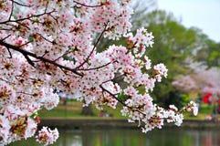 Flores de cerejeira Foto de Stock Royalty Free